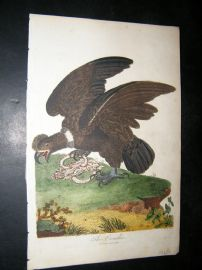 After George Edwards C1800 Hand Col Bird Print. The Condor